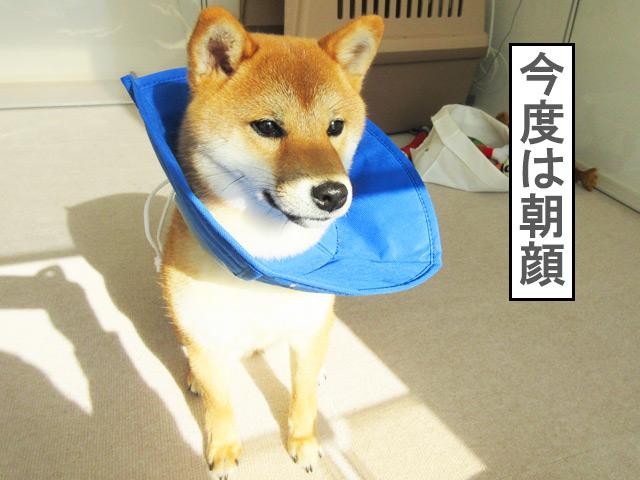 柴犬コマリ 朝顔