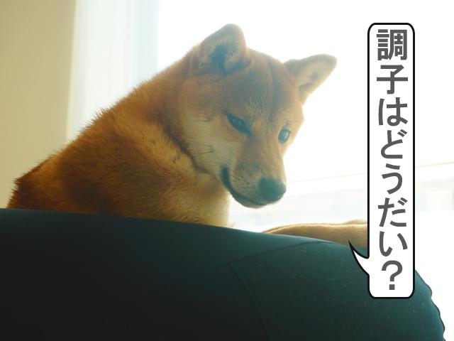 柴犬コマリ 無印 体にフィットするソファ