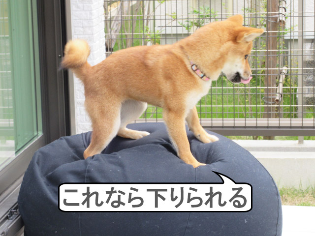 柴犬コマリ 体にフィットするソファ