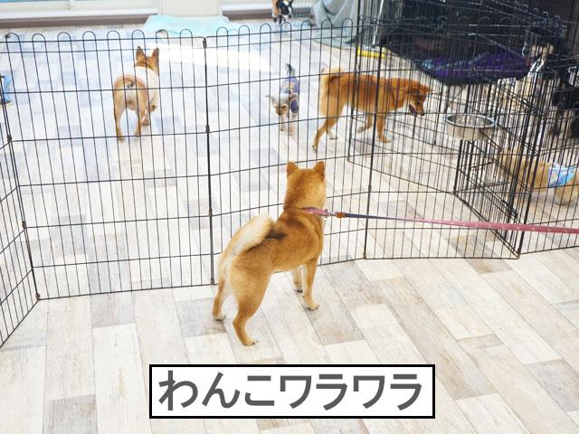 柴犬コマリ しつけレッスン