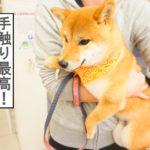 柴犬コマリ シャンプー