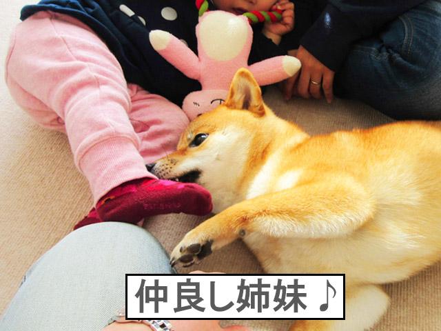 柴犬コマリ 姉妹
