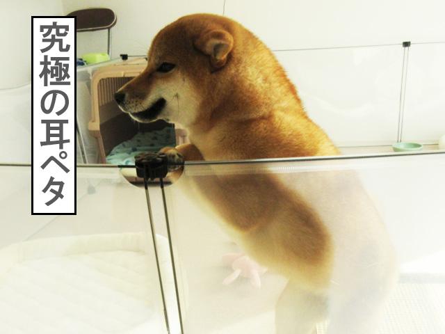 柴犬コマリ 耳ペタ