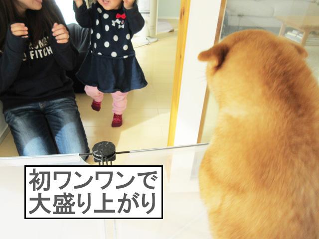 柴犬コマリ 初ワンワン
