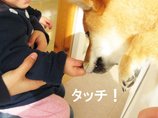 柴犬コマリ タッチ
