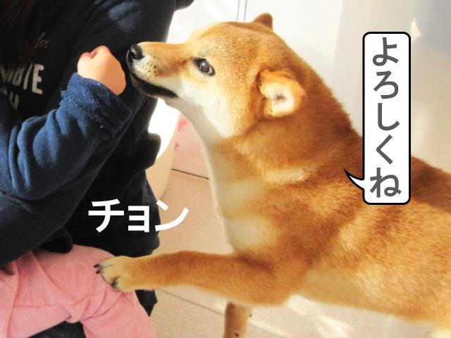 柴犬コマリ よろしく