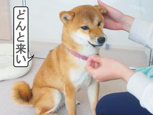 柴犬コマリ タッチトレーニング