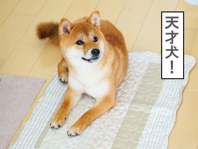 柴犬コマリ カフェマット
