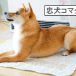 柴犬コマリ 忠犬