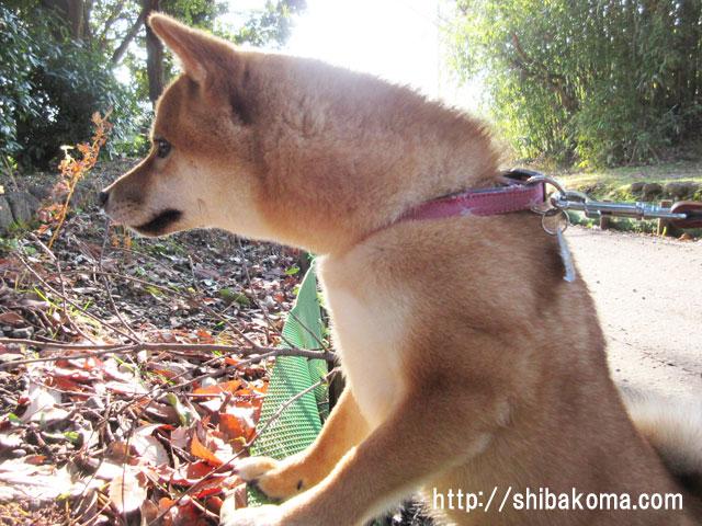 柴犬コマリ 狩猟犬