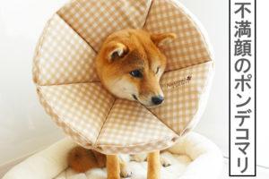 柴犬コマリ 避妊手術 エリザベスカラー