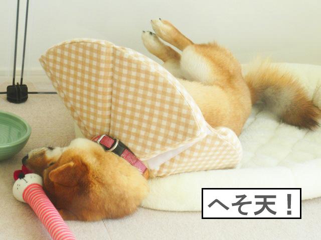 柴犬コマリ 避妊手術 カラー