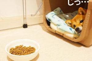 柴犬コマリ 術後服 避妊手術