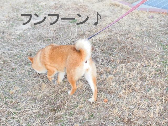 柴犬コマリ 避妊手術 散歩