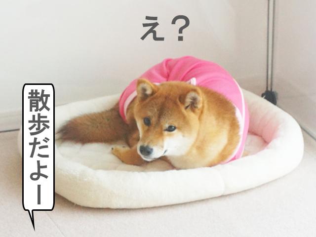柴犬コマリ 避妊手術