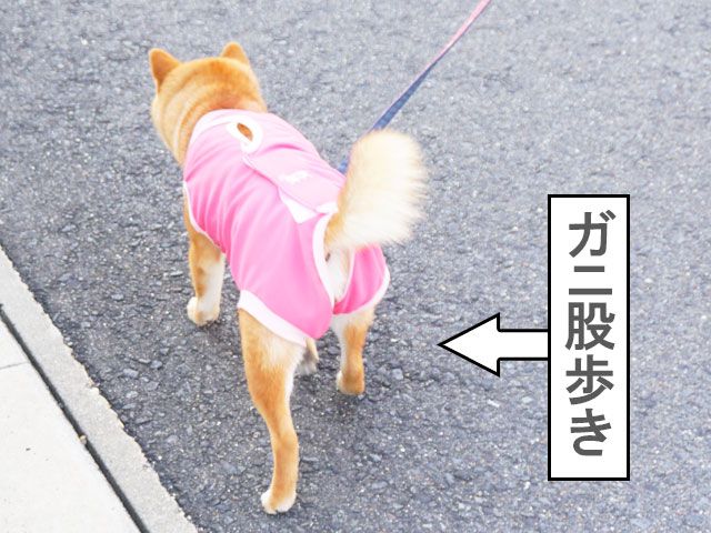 柴犬コマリ 避妊手術 術後服