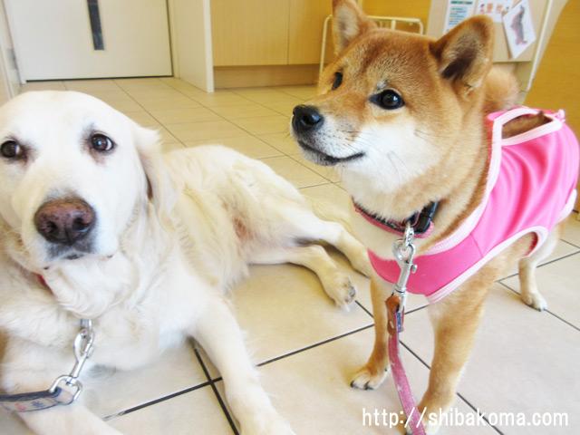 柴犬コマリ 避妊手術 動物病院