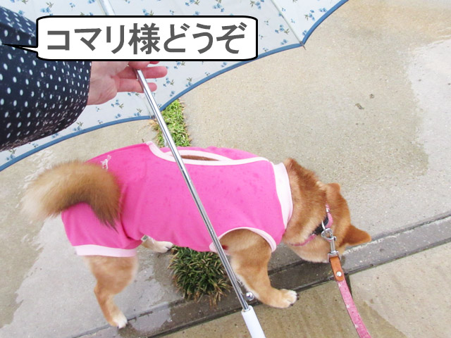 柴犬コマリ 術後服