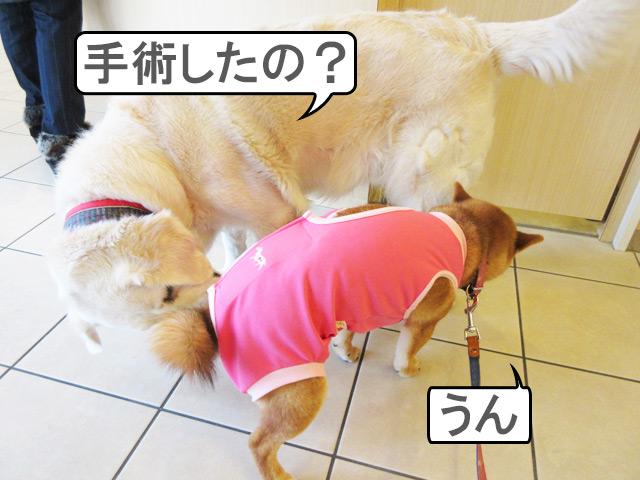 柴犬コマリ 動物病院 避妊手術