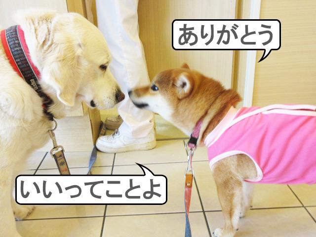 柴犬コマリ 動物病院 看板犬