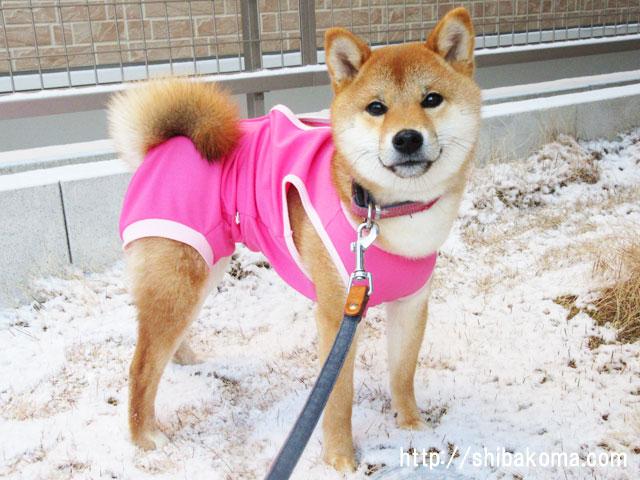 柴犬コマリ 雪