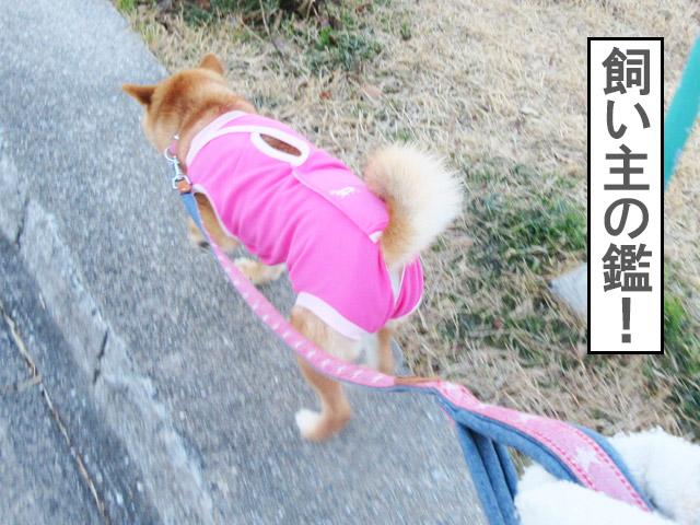 柴犬コマリ 術後服 散歩