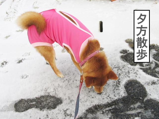 柴犬コマリ 手術後散歩