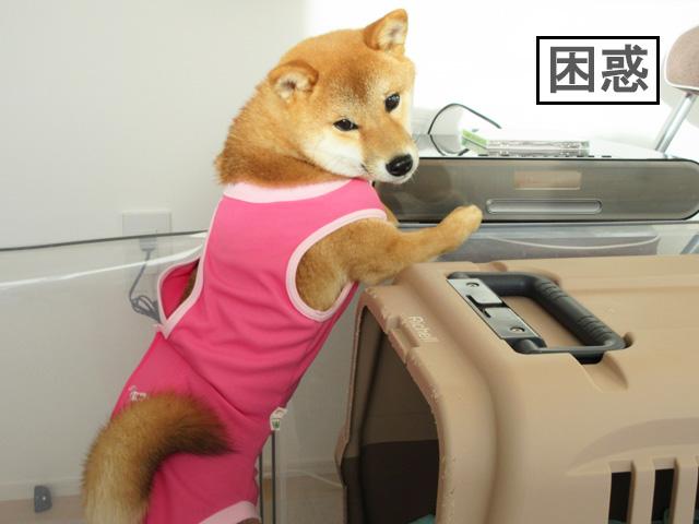 柴犬コマリ ミスチル