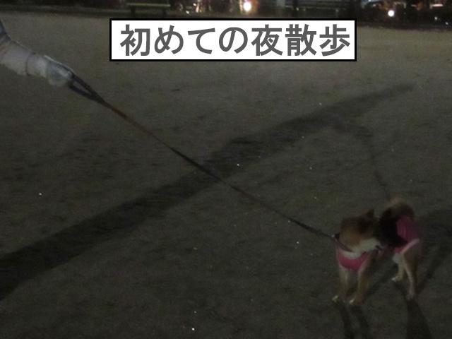 柴犬コマリ 夜散歩