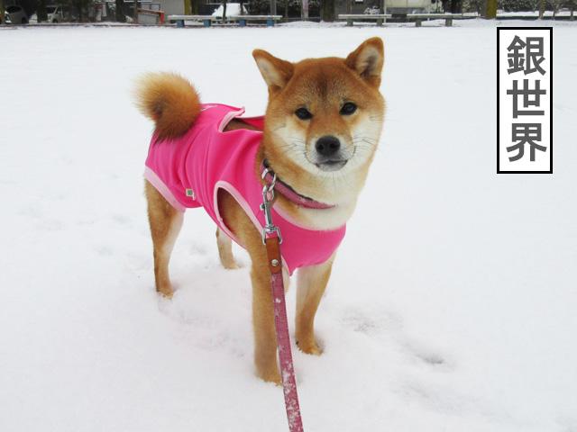 柴犬コマリ 銀世界