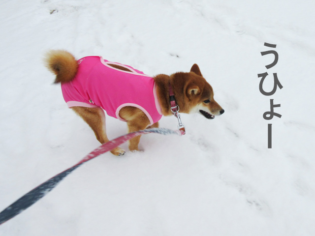 柴犬コマリ 雪遊び