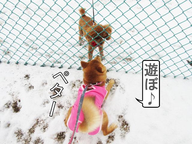 柴犬コマリ プレイバウ