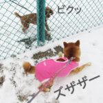 柴犬コマリ スライディング