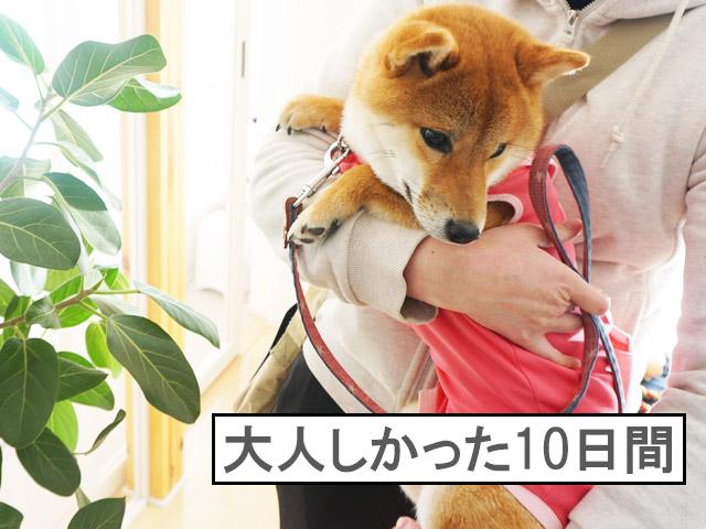柴犬コマリ 避妊手術後