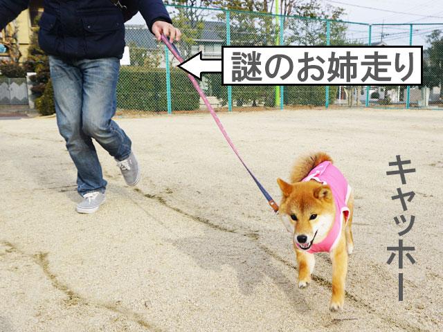 柴犬コマリ 爆走