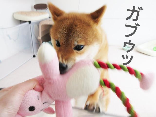 柴犬コマリ ウサギさん
