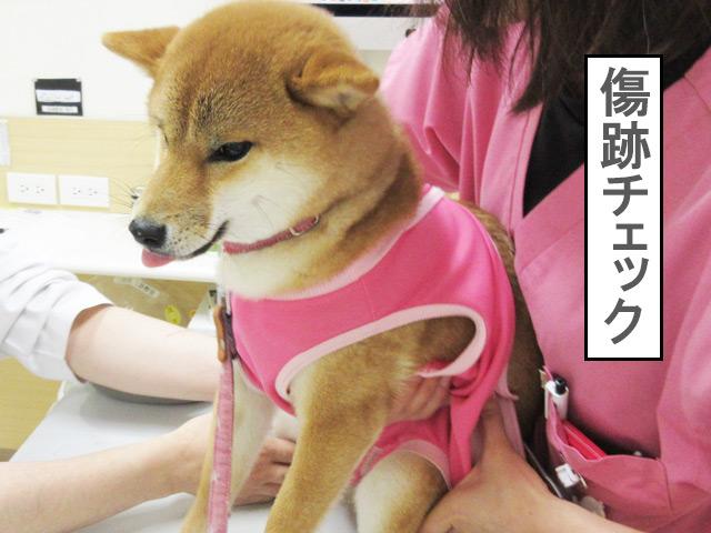 柴犬コマリ 避妊手術 抜糸