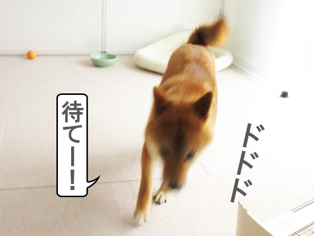 柴犬コマリ 手術後