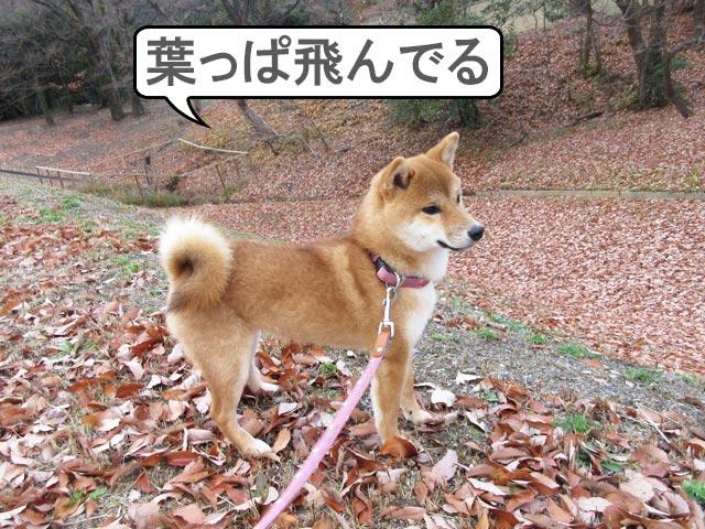 柴犬コマリ 落ち葉