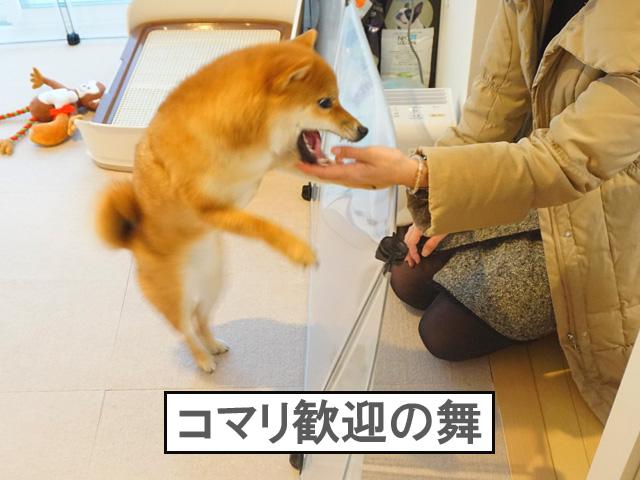 柴犬コマリ 歓迎