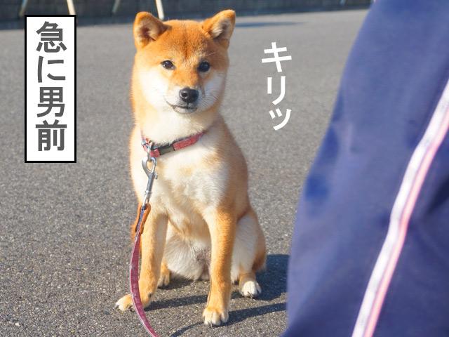 柴犬コマリ 男前