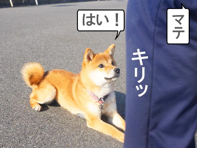 柴犬コマリ マテ