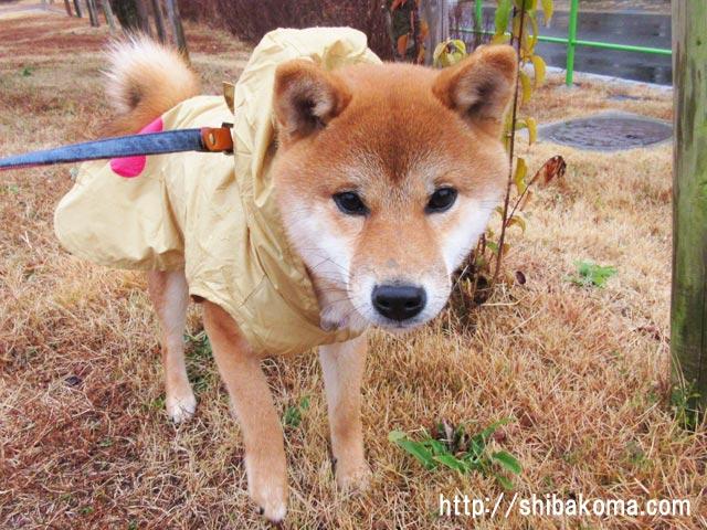 柴犬コマリ 雨散歩 カッパ