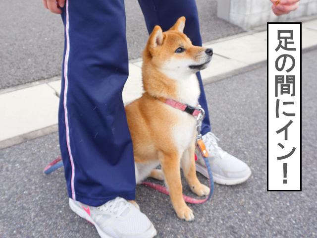 柴犬コマリ コマンド センター