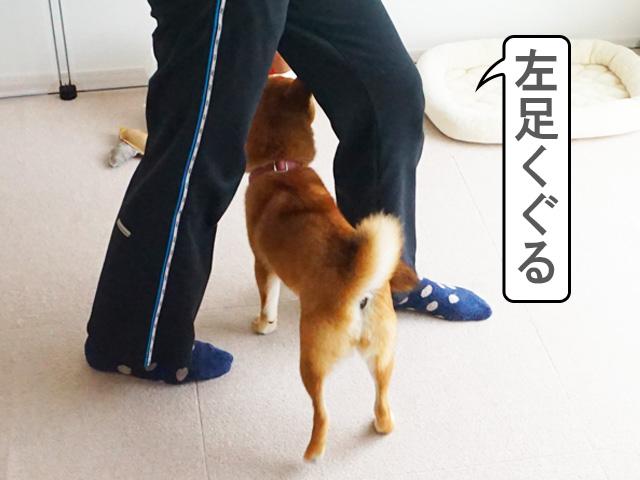 柴犬コマリ コマンド ウィーブ
