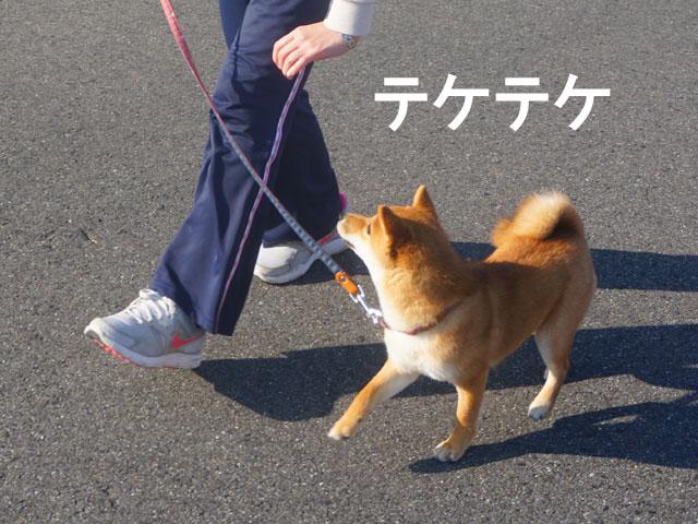 柴犬コマリ コマンド ヒール