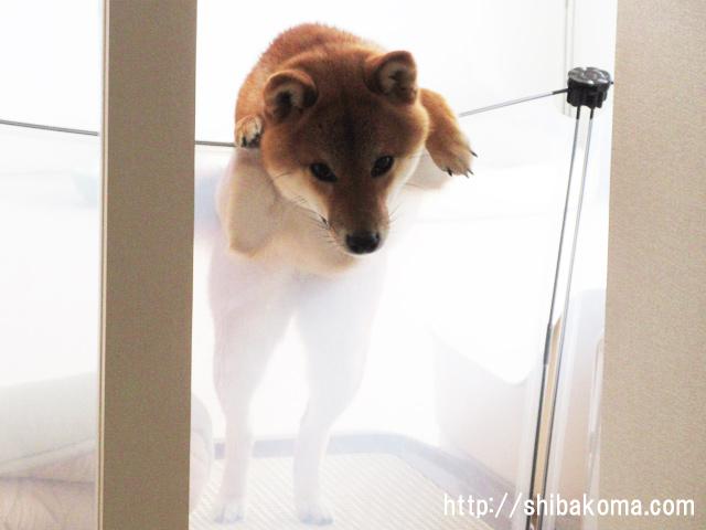 柴犬コマリ 貞子