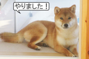 柴犬コマリ ドヤ顔