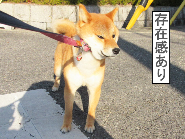 柴犬コマリ イヤイヤさん