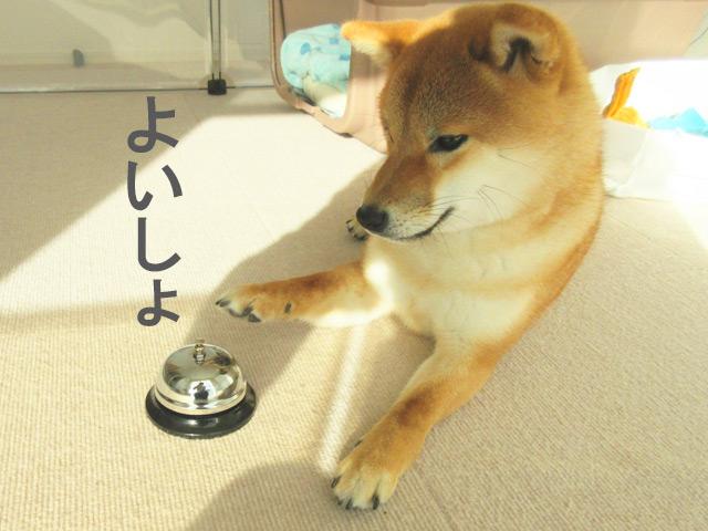 柴犬コマリ ベル